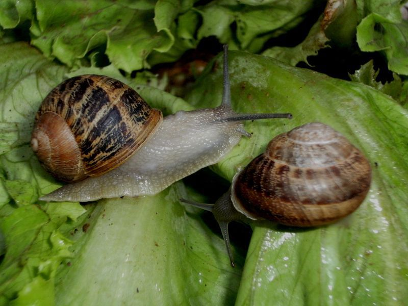 &quot&#x3B; Les escargots ont mangé mes plants de salade ! &quot&#x3B;. Des solutions ?