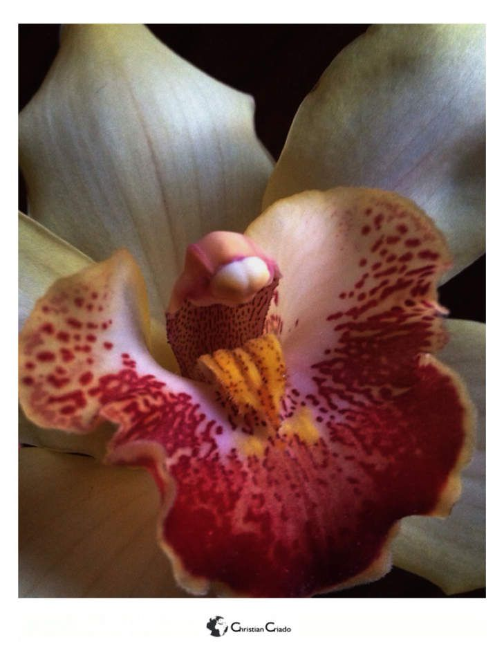 Photographie - Orchidée