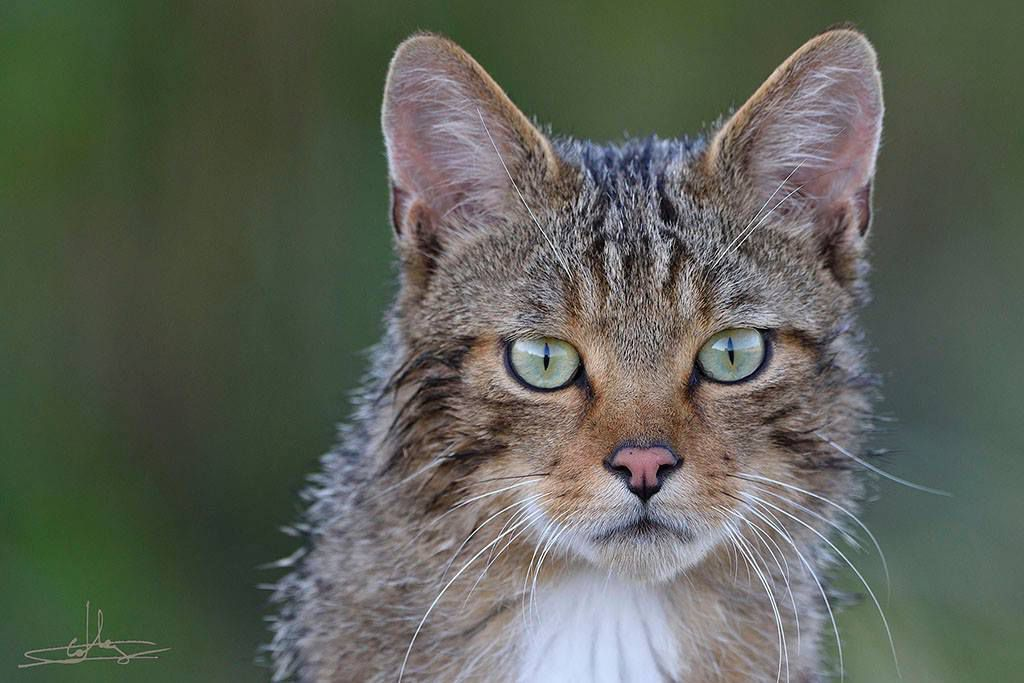 Chat forestier. Photo : Fabrice CAHEZ