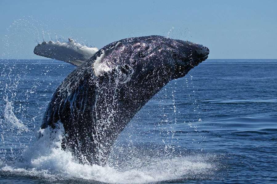 Pas de paradis pour les baleines de l'Atlantique sud