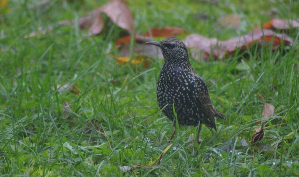 Etourneau sansonnet fouillant la pelouse à la recherche de vers. Photo : JLS