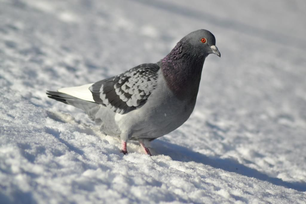 Pigeon biset (Columba livia). Photo : JLS