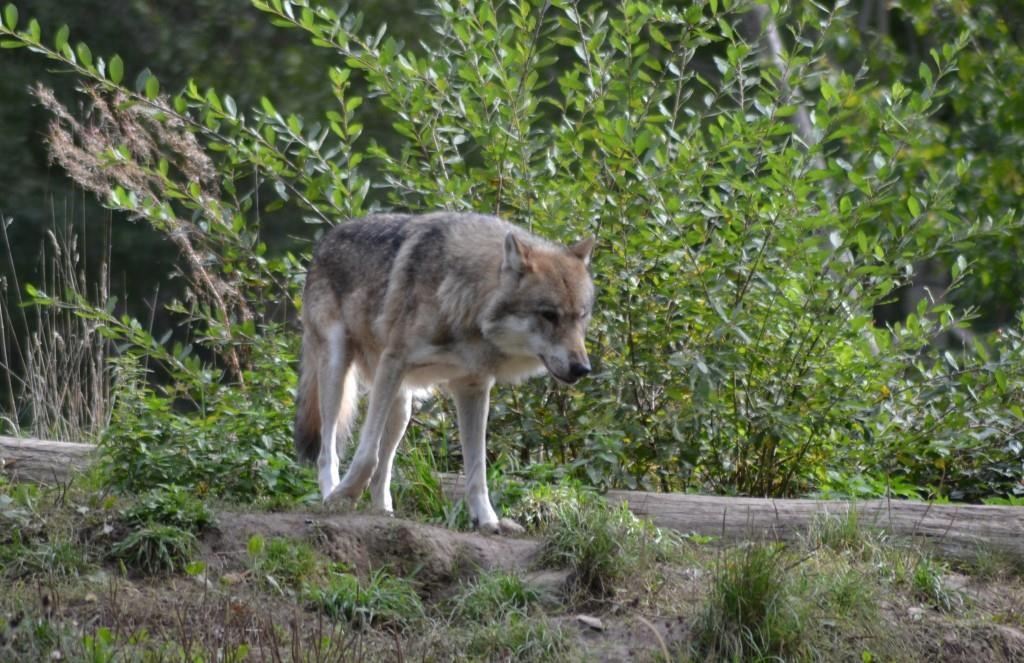 Loup gris. Photo : JLS