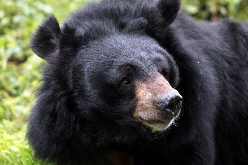 Ours noir d'Asie (Ursus thibetanus)