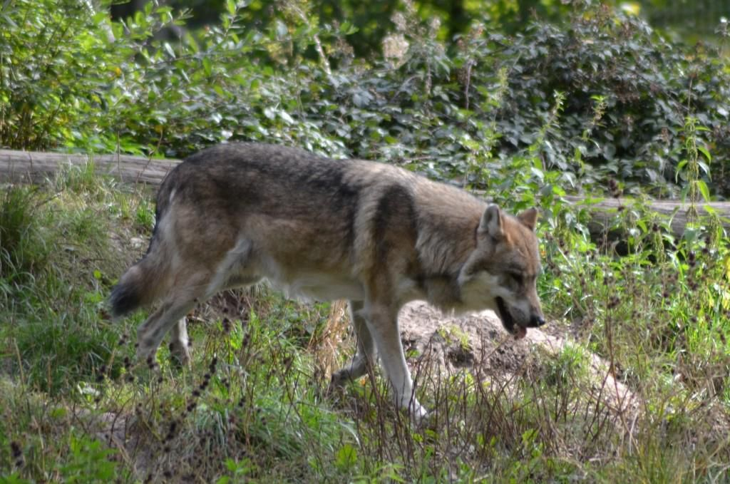 Le loup, coupable idéal ! Photo : Jean-Louis Schmitt