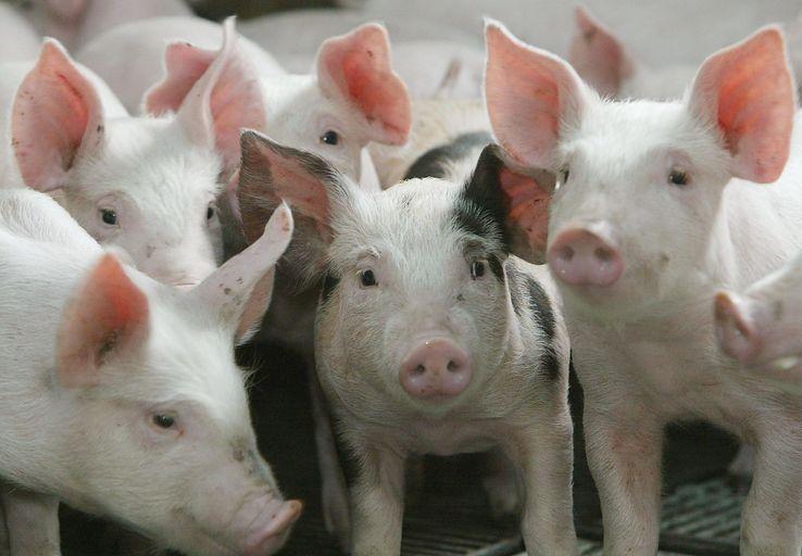 Un élevage de cochon à Schwerdorff. Crédits : Pierre Andrieu - AFP
