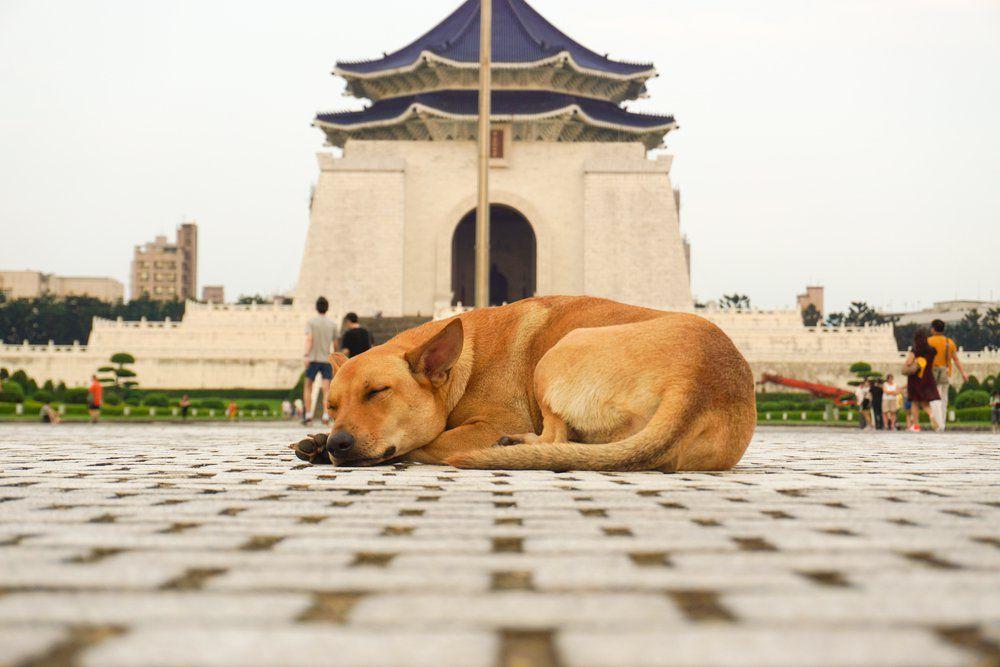 Un chien couché devant le Chiang Kai-shek Memorial Hall de la Freedom Square à Taipei, Taiwan – Shutterstock