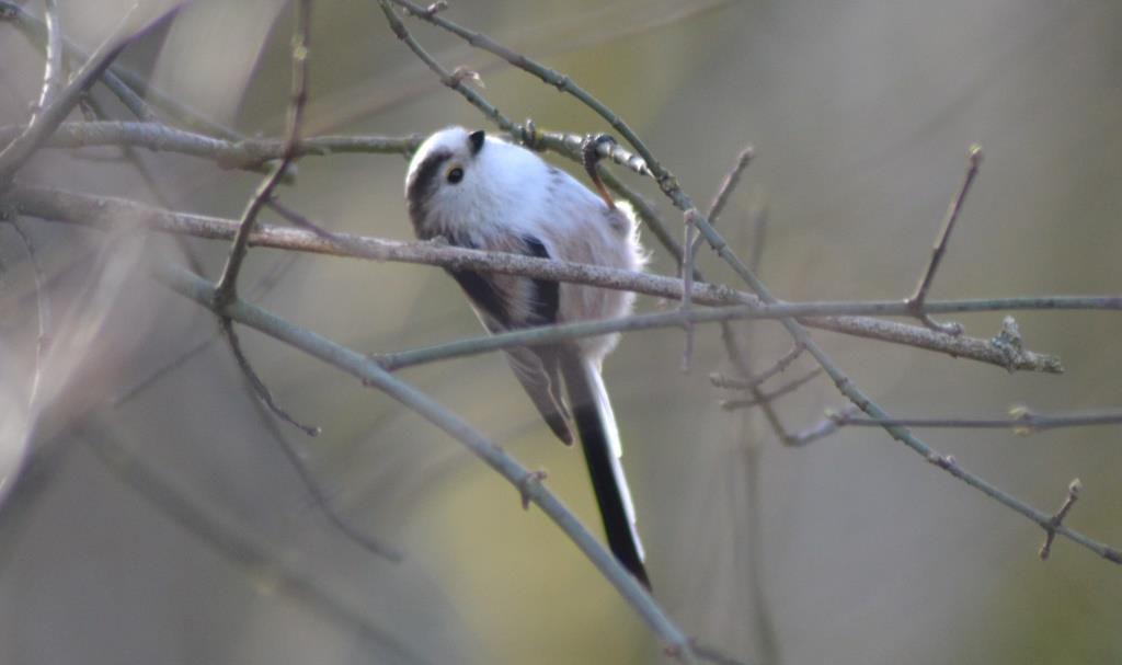Mésange à longue queue (Aegithalos caudatus). Photo : JLS