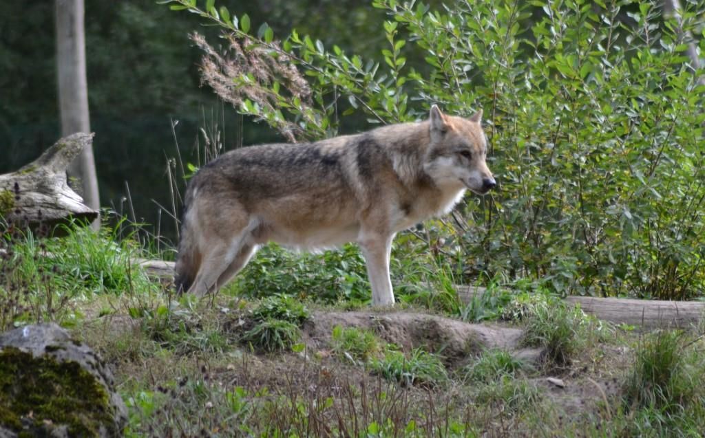 Loup gris (Canis lupus). Photo : Jean-Louis Schmitt
