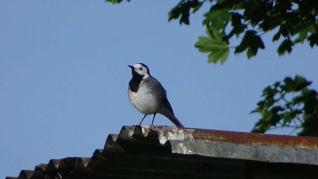 Bergeronnette grise (Motacilla alba). Photo : Jean-Louis Schmitt