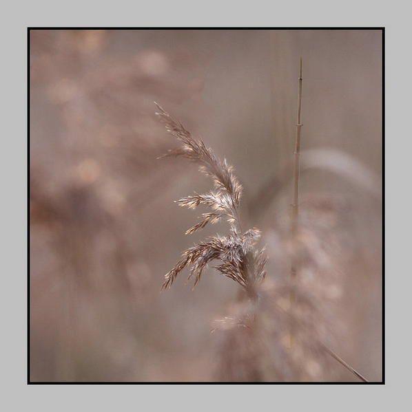 Lumière hivernale dans les roseaux
