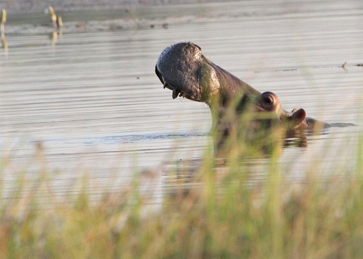 Les hippopotames de Tengrela