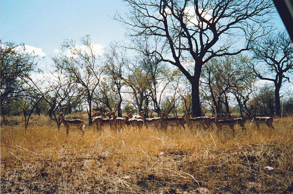Kruger Park - Afrique du Sud - 1989
