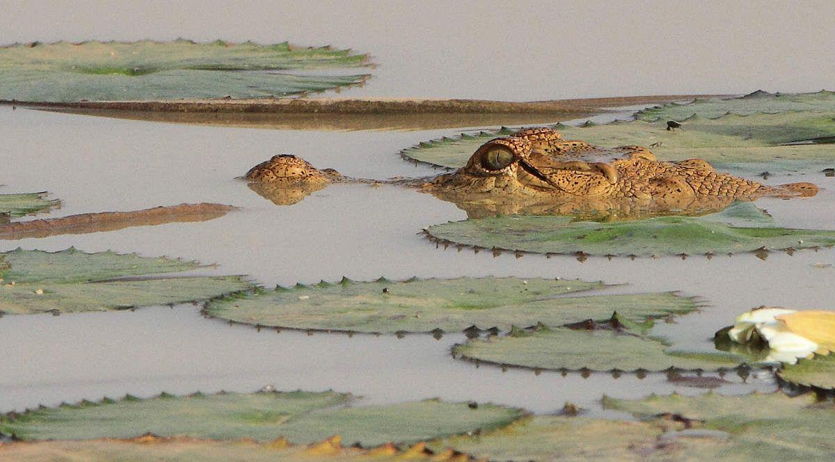 Jeune crocodile