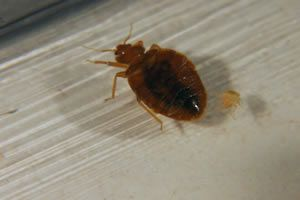 a bed bug can cause you harm