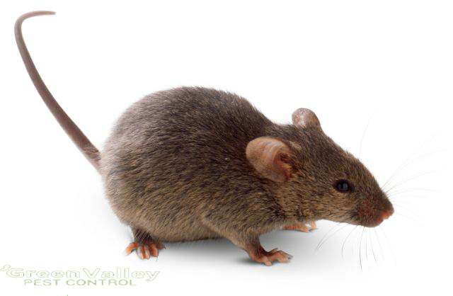Hire the professional service for rodent control in Vancouver