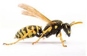How to make your wasp control project successful?