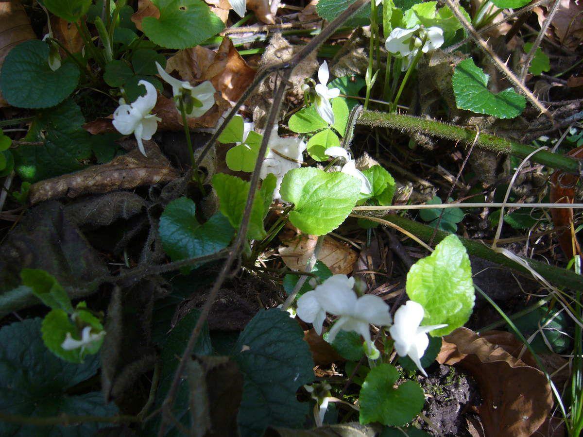 Violette blanche, Viola alba