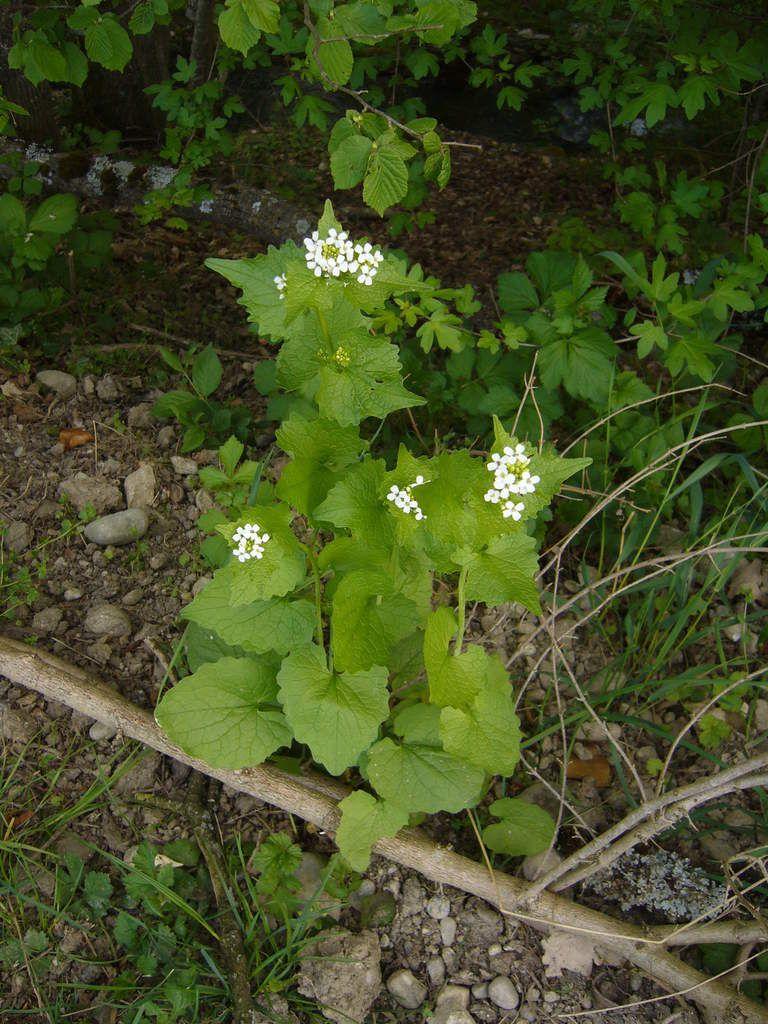 Alliaire officinale, Alliaria petiolata