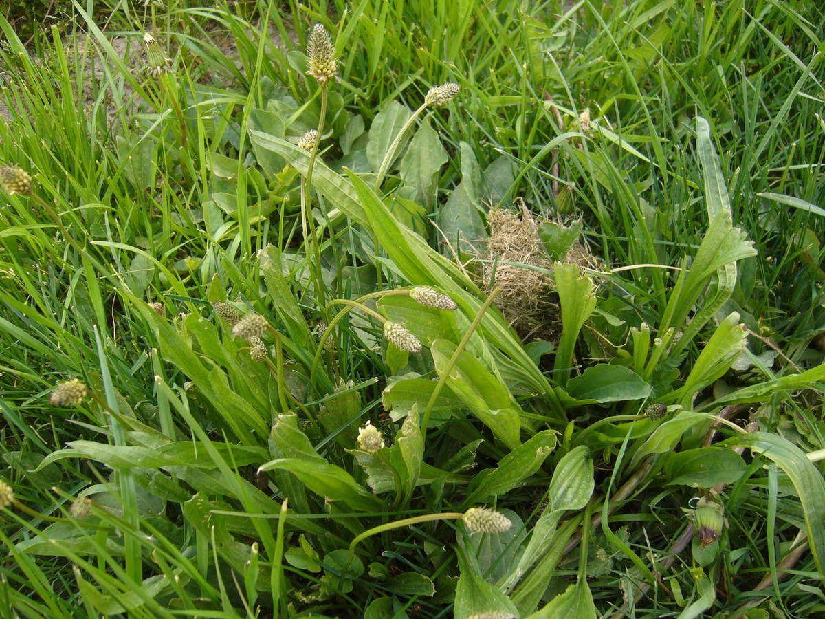 Plantain lancéolé, Plantago lanceolata