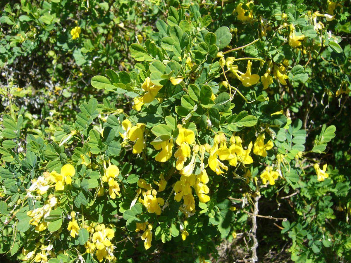 Cytise à feuilles sessiles, Cytisophyllum sessilifolium