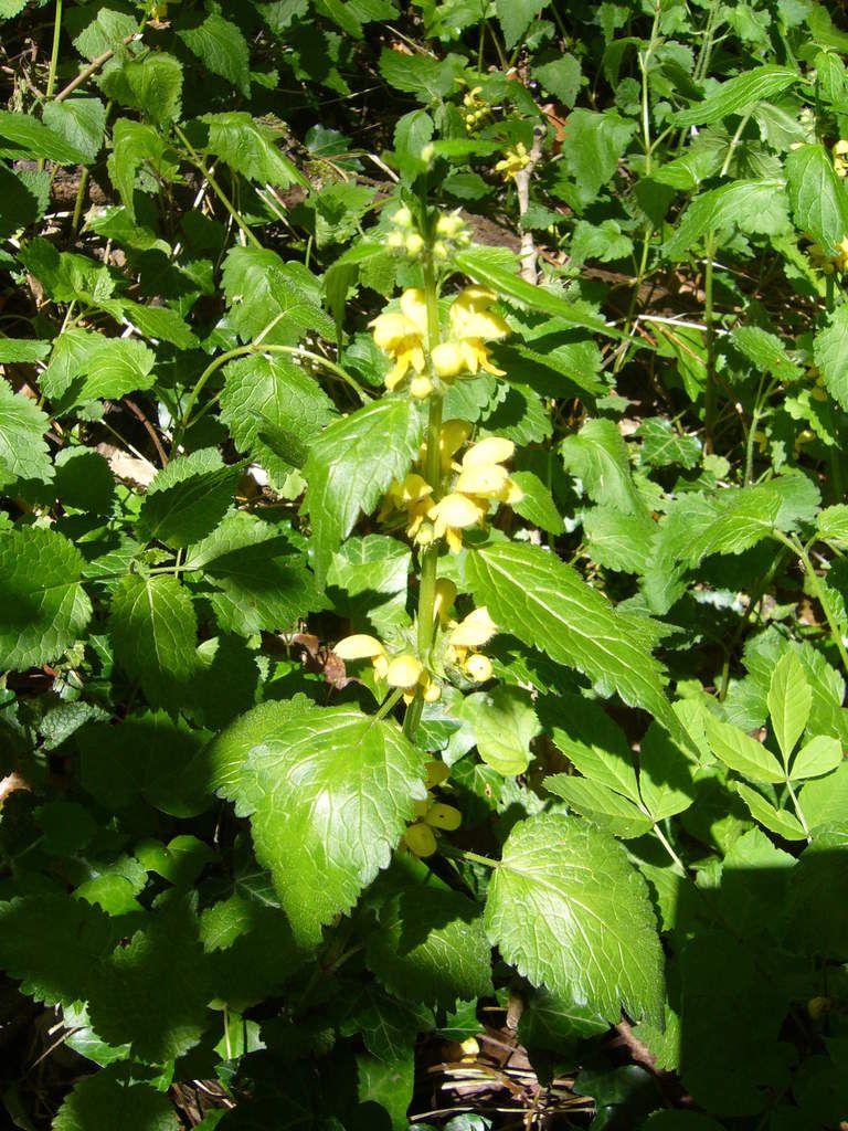 Lamier jaune, Lamium galeobdolon
