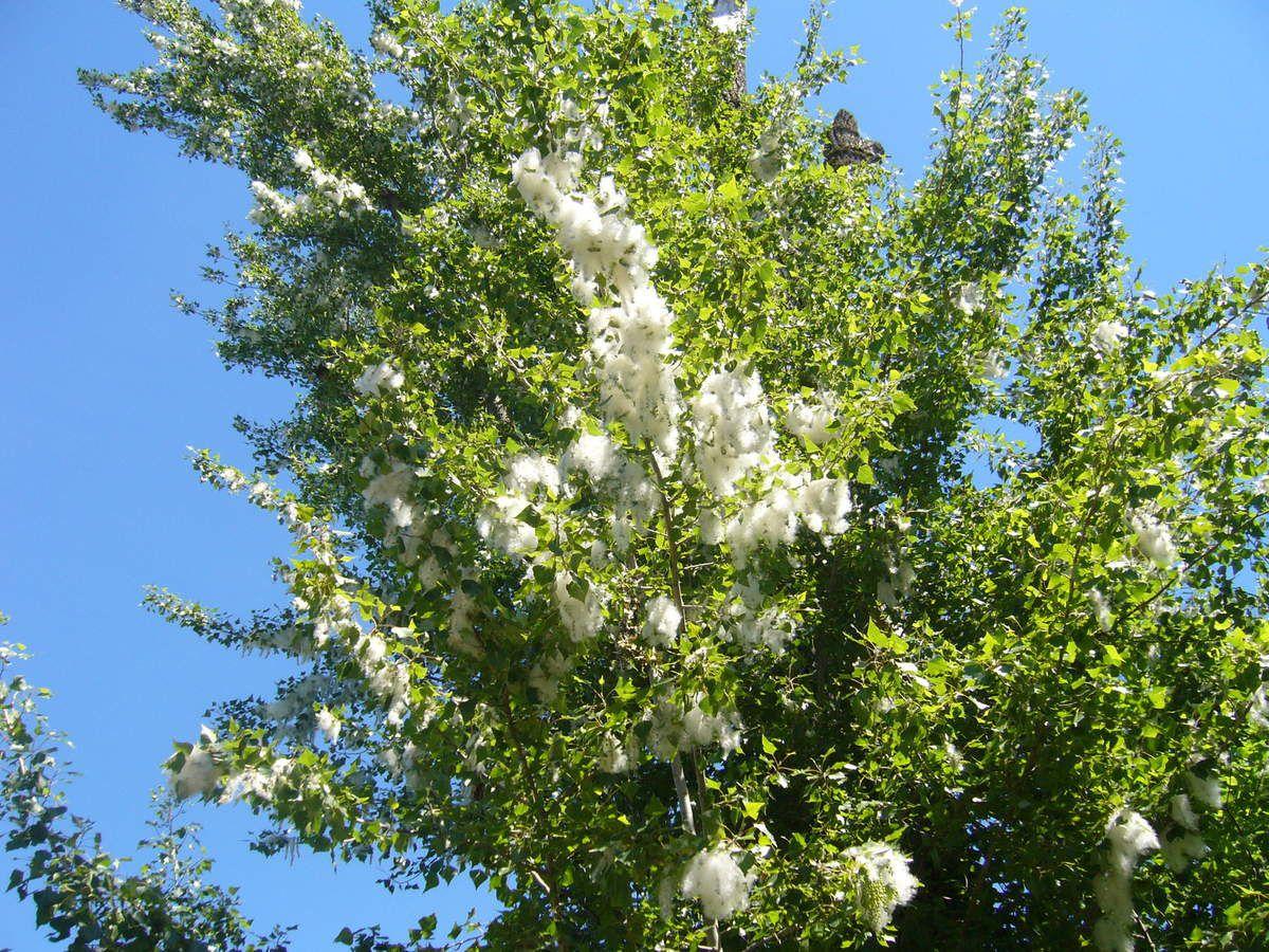 Peuplier, les fruits produits par les fleurs femelles libèrent une sorte de bouure de coton contenant les graines