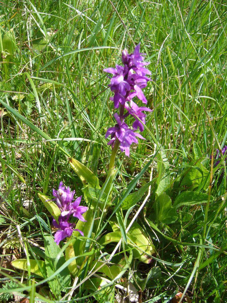 Orchis mâle, Orchis mascula
