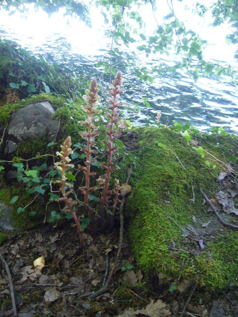 Orobanche, plante sans chlorophylle, parasite