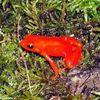 55 espèces d'amphibiens menacées d'extinction dans la Grande Ile