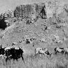 Notes du passé: L'éternel problème des bœufs en divagation