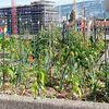 Genève, ville de culture: Salades et aubergines poussent au Quai du Seujet
