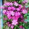 Mes clématites et fleurs.