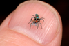 L'araignée paon...
