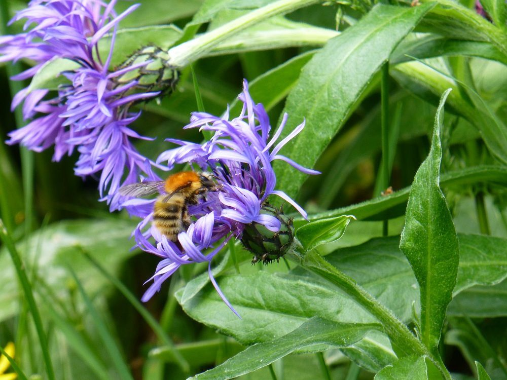 plusieurs espèces d'abeilles et de bourdons se sont donnés rendez-vous au premier rayon de soleil et tout ce petit peuple aux mœurs différentes cohabitaient sans souci mercredi 22 mai 2013 (9 photos)