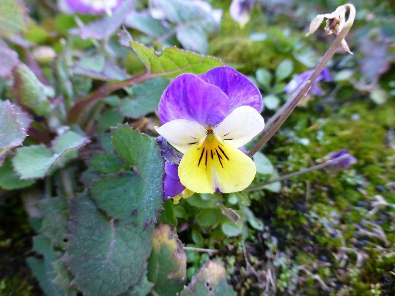 petites pensées &#x3B; rose de noël &#x3B; sedum palmeri &#x3B; violette, vendredi 21 février (7 photos)