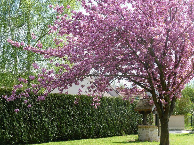 Arbres en fleurs cerisier rose jeannefadosi - Arbre rose japon ...