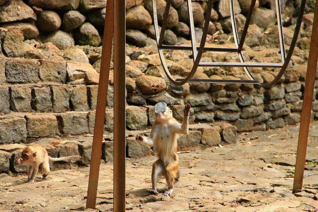 Des singes plutôt joueurs