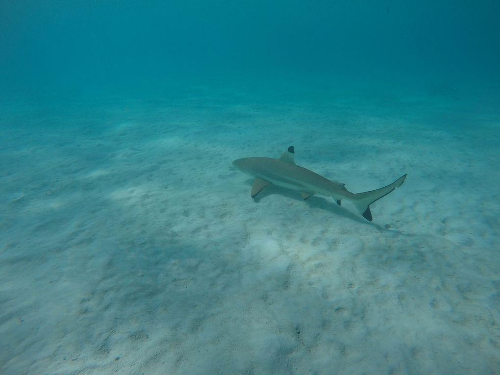Requins pointes noires