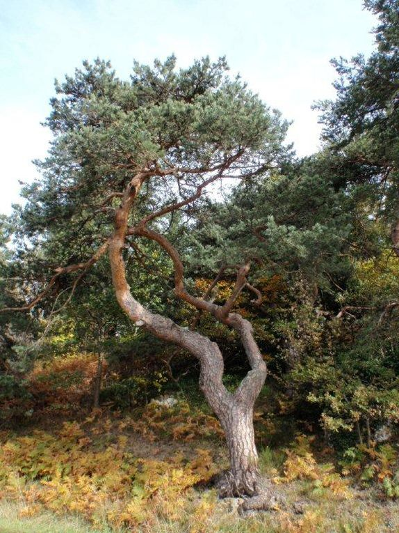 les pins de boulange du Forez