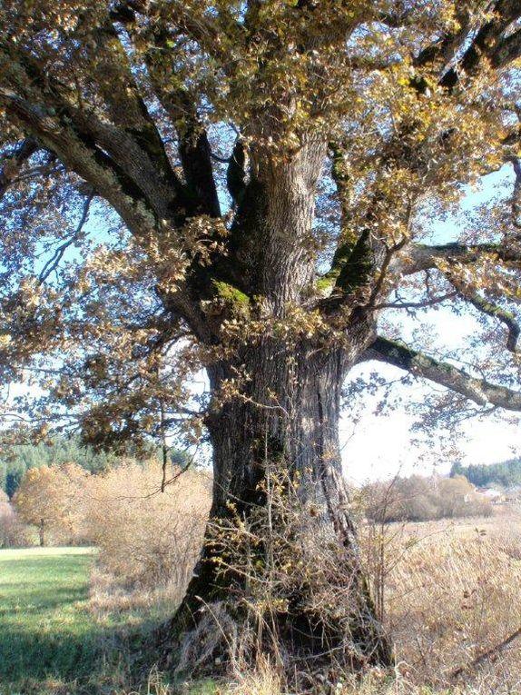 Chêne de La Pra (St Julien la Vêtre)
