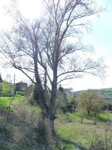 Peuplier d'Ochara (St Chamond)