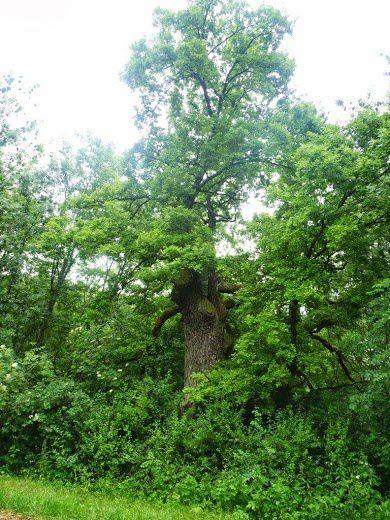 Chêne de Dumar