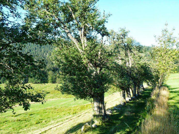 Allée de vieux alisiers blancs près de la Croix de Chaubouret