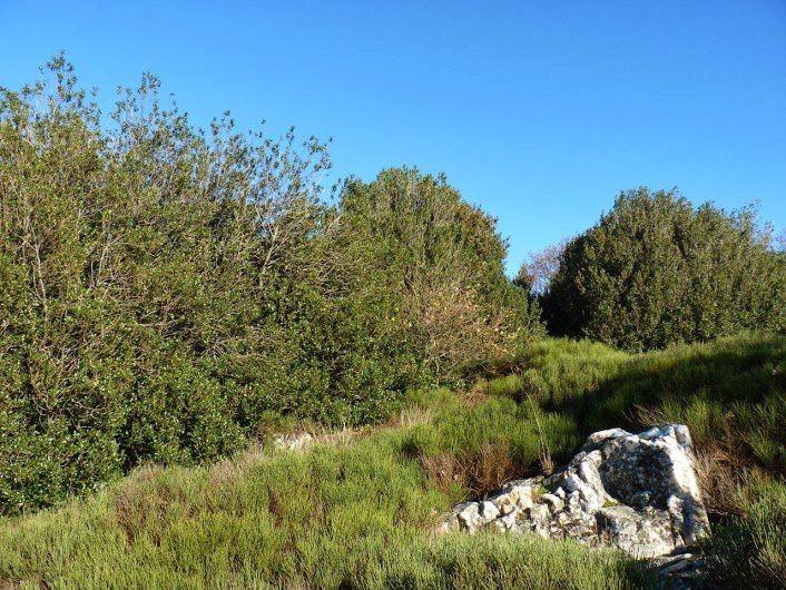 Haie de houx boules du Mont Monnet
