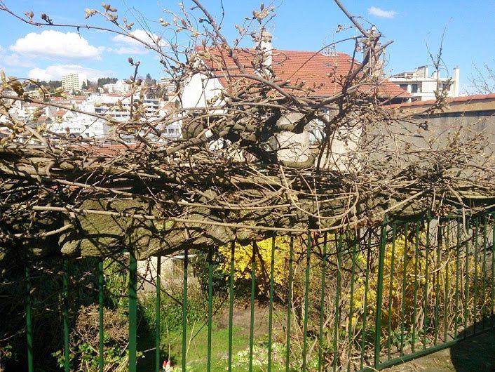 Glycine de St Etienne