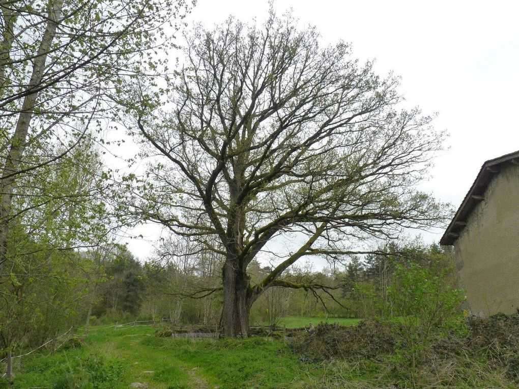 Chêne de Félicien