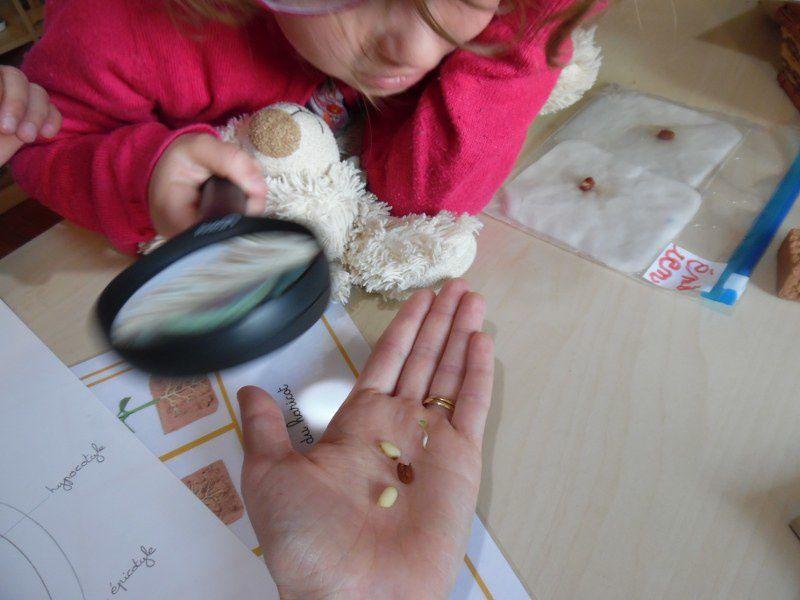 Nous avons aussi décortiqué une des graines de haricots, celle que j'avais moi-même fait germer.