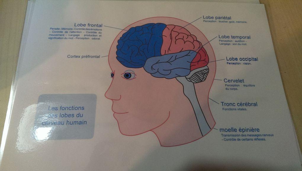 Le corps humain : le cerveau (1ere partie)