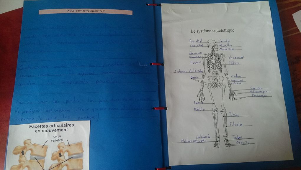 Corps humain : lapbook sur le squelette.